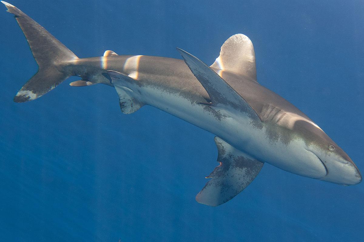 Oceanic whitetip shark Red Sea-2018