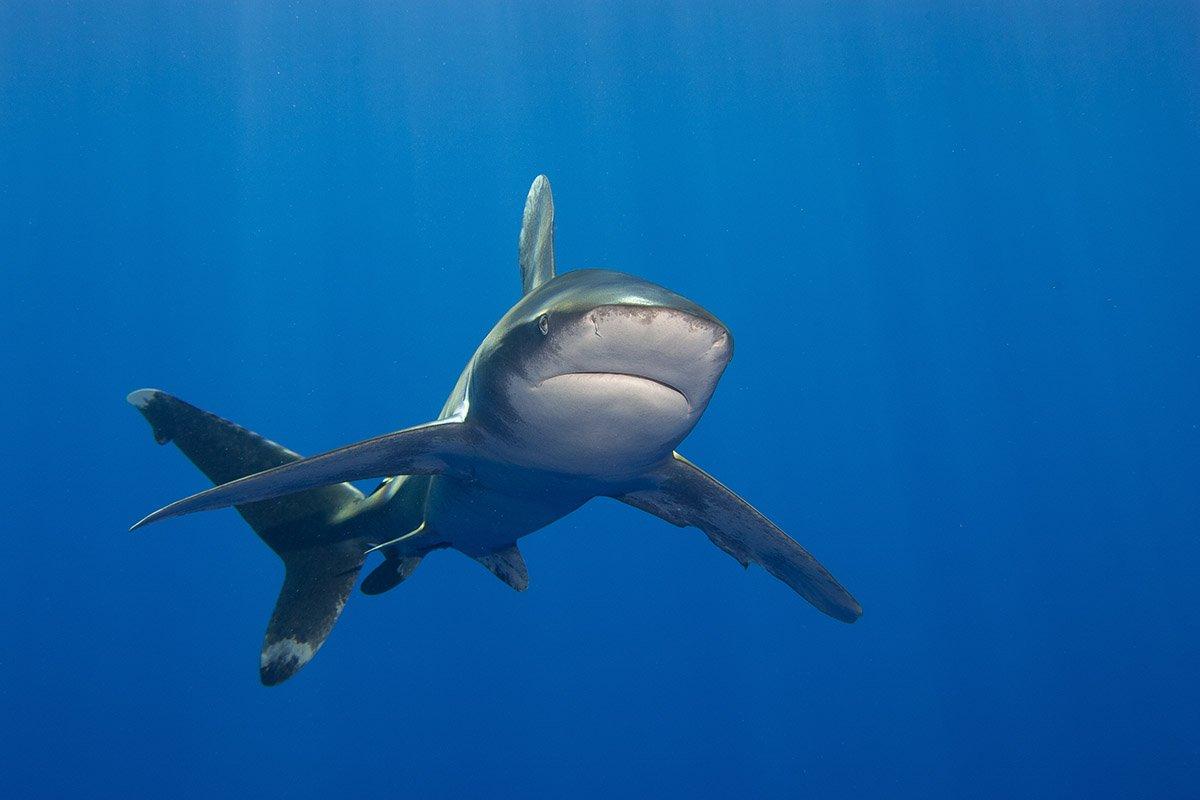 Oceanic whitetip shark Red Sea_2018