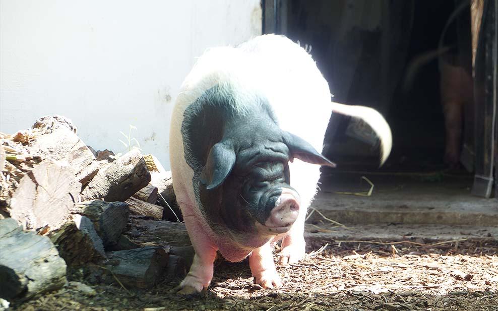 Kadoorie Farm's pot-bellied pigs provide free organic fertiliser for their crops.