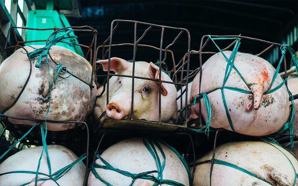 pigs mass-produced commodity