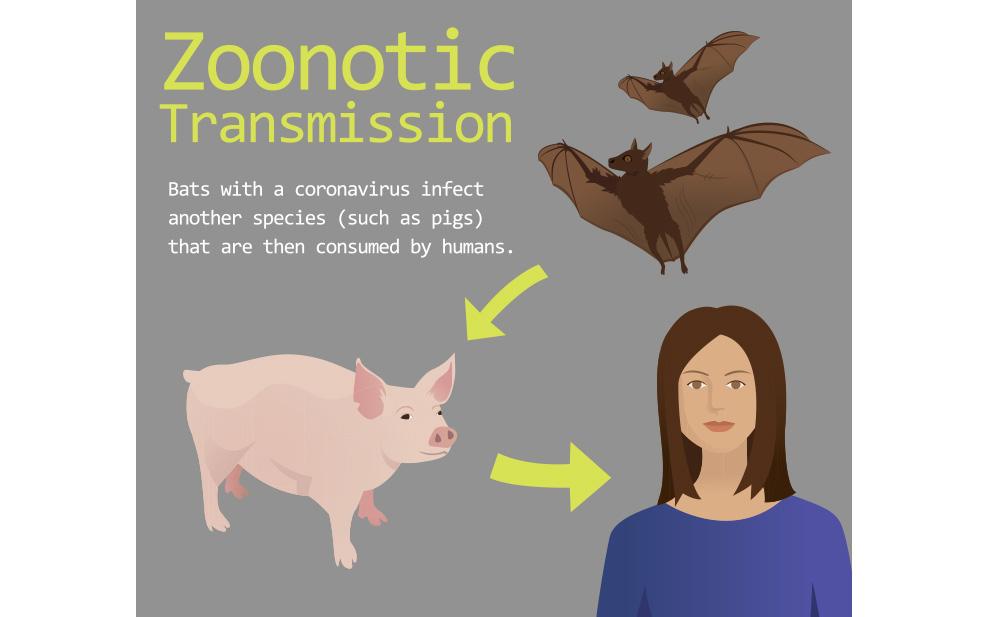 sketch-transmission-coronaviruses-bats